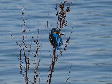 Kingfisher, Alcedo, King Fisher, Turquoise, Iridescent