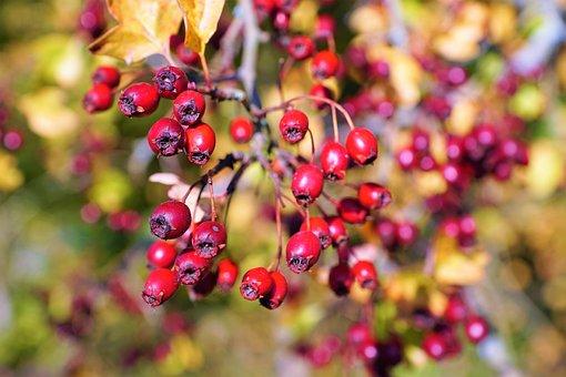 Berries, Fruit, Branch, Leaves, Rose Hip, Red
