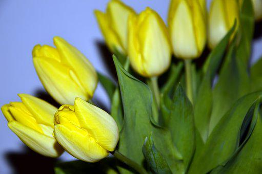 Tulips, Flowers, Yellow, Lily, Plant, Flora, Nature