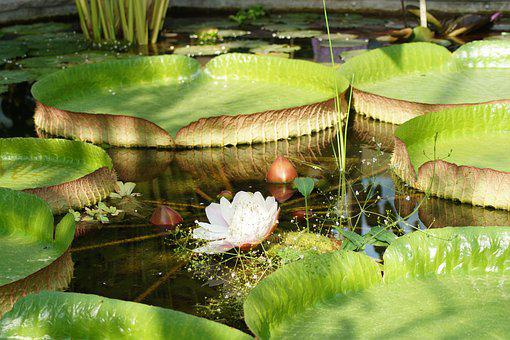 Water Lily, Lotus, Lotus Blossom, Flower, Nymphaea