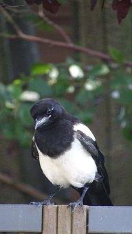 Bird, Magpie, Animal, Birds