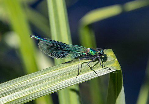 Banded Demoiselle, Male, Damselfly, Insect, Nature