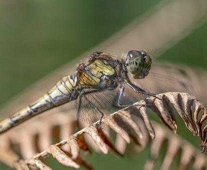 Common Darter, Dragonfly, Insect, Odonata, Summer