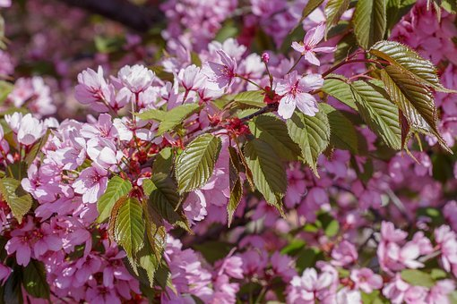 Cherry, Tree, Plant, Nature, Pink, Cherry Blossoms