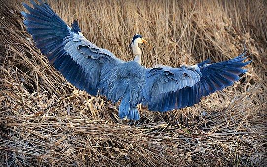 Heron, Bird, Animal, Wildlife, Predator, Wing, Feather