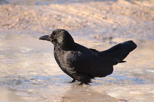 Raven, Bath, Puddle, Mud, Refreshment, Bird, Water
