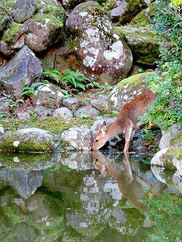 Nara, Japan, Nature, Pond, Roe Deer, Potions, Moss