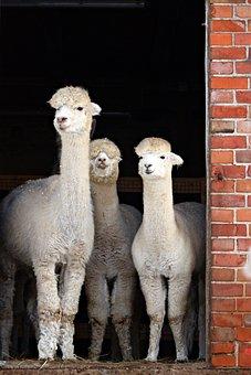 Alpaca, Animal, Stall, Farm