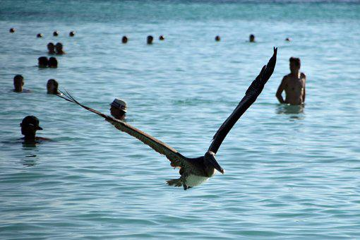 Birds, Pelican, Sea, Mexico, Beach, Water, Animals