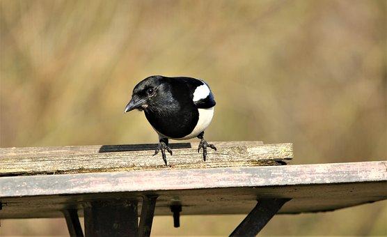 Magpie, Nature, Bird, Wildlife, Hungry, Black, White
