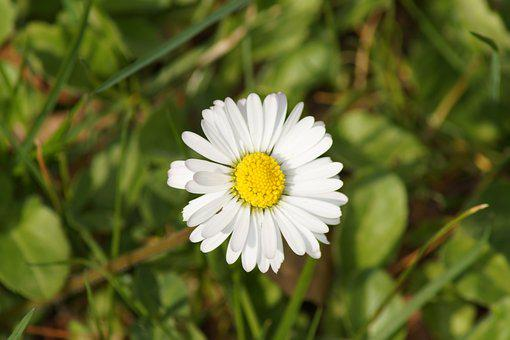Daisy, Flower, Spring, Summer, White, Yellow, Plant