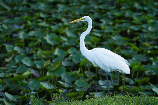 Bird, Water Bird, Everglades, Wildfowl, Pond