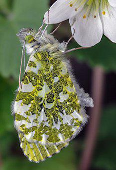 Butterfly, Orange-tip, Wildlife, Orange, Nature, Insect