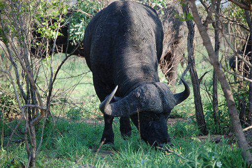 Wildlife, Savanna, Landscape, Buffalo