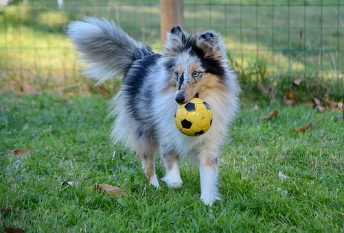 Shetland Sheepdog Blue Merle, Animal, Dog, Pet