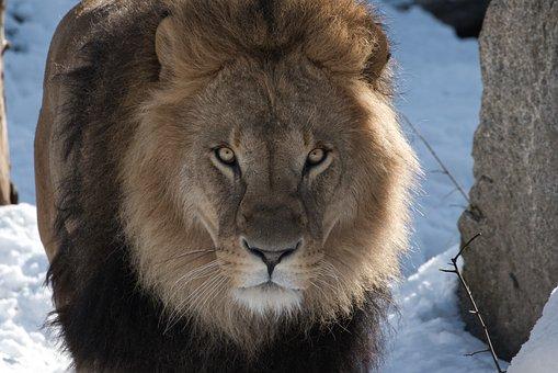 Lion, Predator, Zoo, Africa, Safari, Animal World
