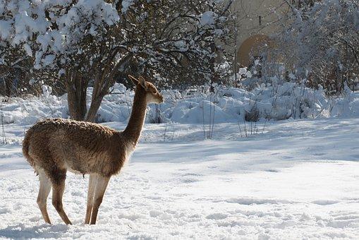 Winter, Roe Deer, Animal, Animal World, Landscape