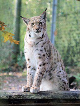 Feature, The Eurasian Lynx, Beast, Cat, Sitting