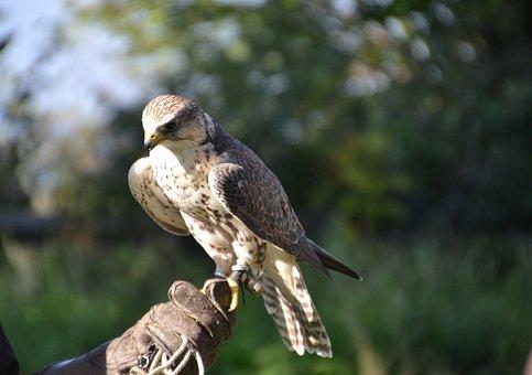 Falcon, Raptor, Bird Of Prey, Animal, Bird, Nature