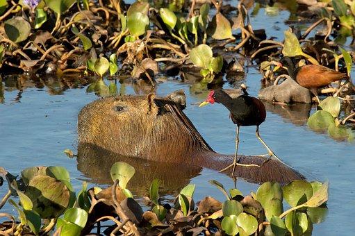 Capybara, Rodent, Jacana, Bird, Llanos, Venezuela