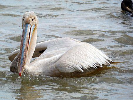 Senegal, Djouj, Reserve, Pelican, Bird, Nature