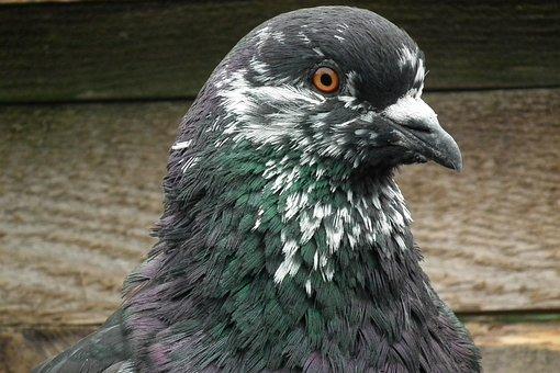 Dove, Mondain, Bird, Pen, Summer, Colored, Plumage