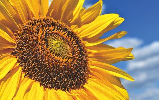 Sunflower, Summer, Bright, Yellow, Blossom, Bloom