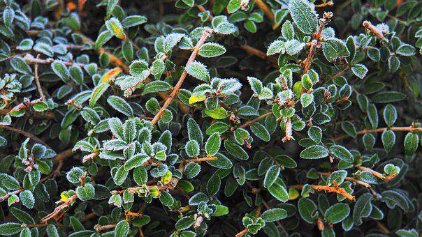 Hoarfrost, Boxwood, Winter, Cold, Frost, Leaves, Book