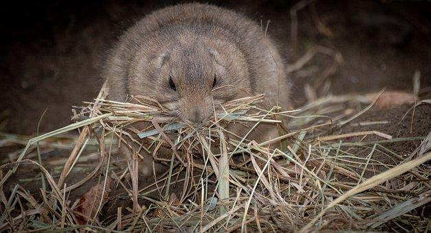 Prairie Dog, Animal, Nature, Hay, Eat, Cute, Hamsters