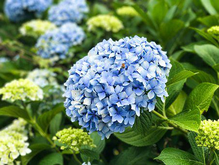 A Hydrangea, Flower, Jeju Island, Hydrangea Festival