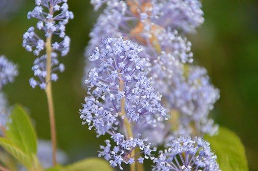 Milkweed Swamp, Milkweed, Plant, Flower, Gardening
