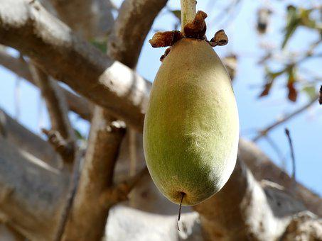 Baobab, Fruit, Bread-of-monkey, Africa