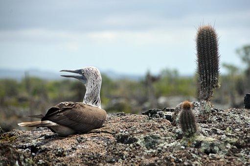 Ave, Galápagos, Booby, Blue-footed, Blue, Sky