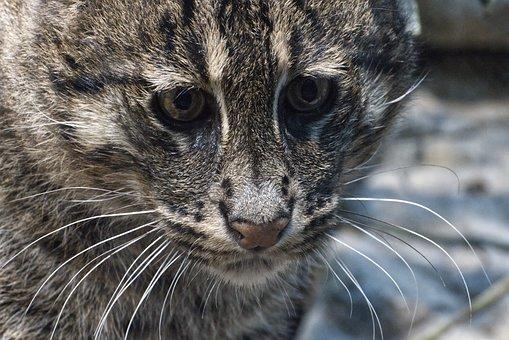 Cat, Fishing Cat, Zoo, Hunt, Predator, Animal, Rarely