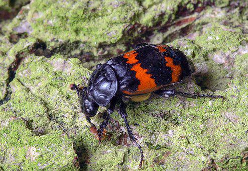 Beetle, Carapace, Insect, Wildlife, Colorful
