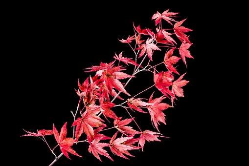 Japanese Maple Leaves, Isolated, On Black Background