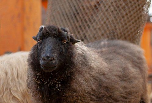 Sheep, Farm, Ranch, Herd, Country, Mammal, Ram