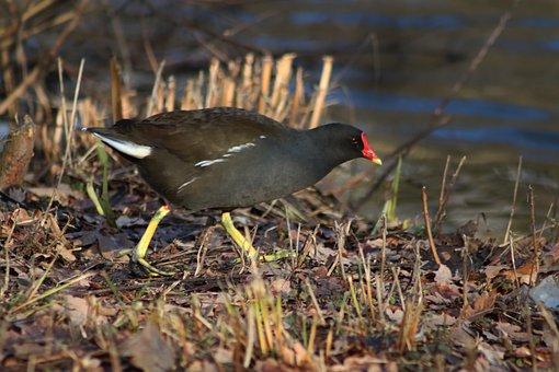 Common Moorhen, Grünfüßiges Pond Chicken, Moorhen