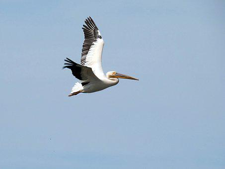 Pelican, Flight, Pelecanus, Pelecanidés, Bird, White