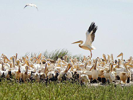 Senegal, Pelicans, Sanctuary, Nursery, Breeding, Nests