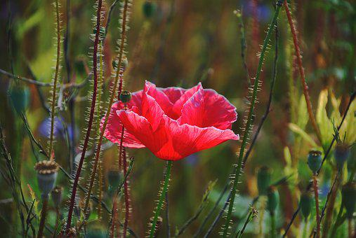 Poppy, Poppy Flower, Flower, Red, Mohngewaechs, Nature