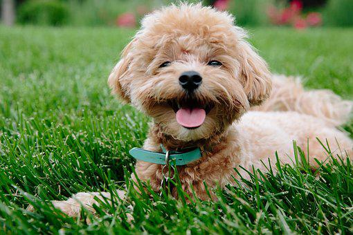 Puppy, Dog, Pet, Animal, Cute, Doggy, Poodle, Pup