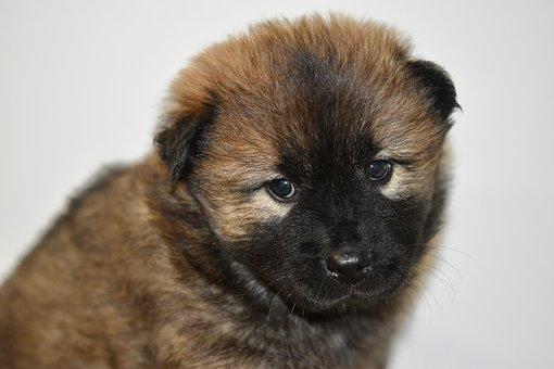 Dog, Bitch, Pup, Puppy, Dog Eurasier, Dog Pen, Eurasier
