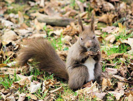 The Squirrel, Animal, Rodent, Brown, Food, Autumn