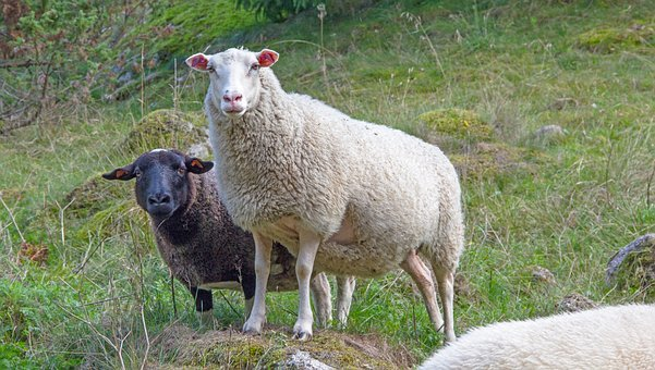 May, Sheep, Animals, Wool, Fur, Cattle