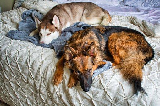 Dogs, Husky, German Shepherd, Siberian Husky, Sleep