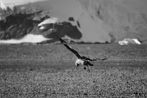 Birds, Antarctica, Birds Antarctic, Skua, Flight, Snow