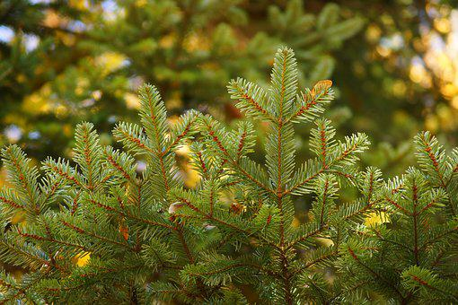 Tree, Coniferous, Sprig, Spruce, Nature, Needles