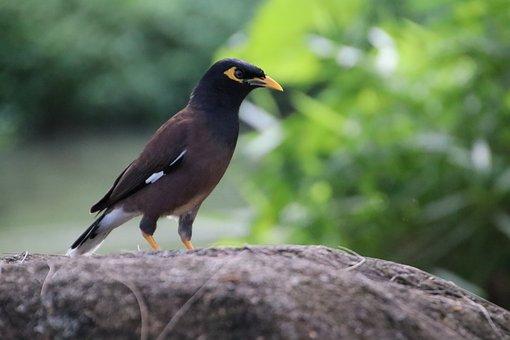 Hirtenmaina, Shepherds Star, Bird, Thailand