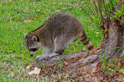 Raccoon, Snacking, Food, Eat, Unhealthy, Nutrition